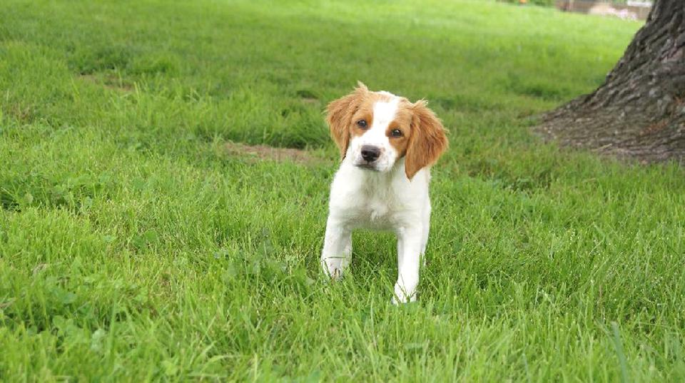Epagneul Breton Chiot D Occasion