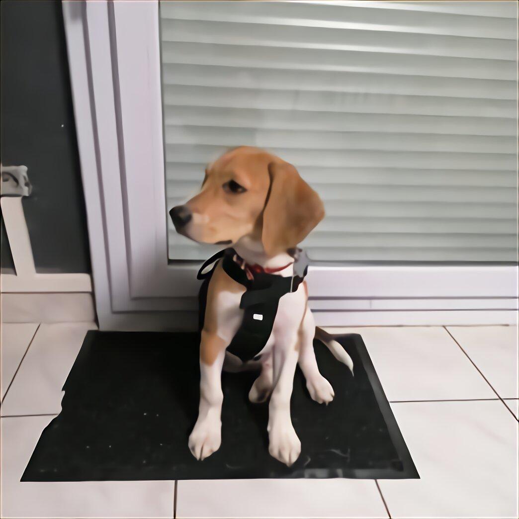 Chiot Labrador Donner D Occasion Plus Que 2 A 65
