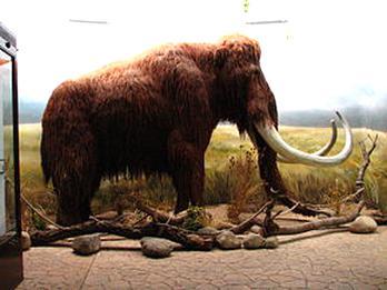 Mammouth laineux de Sibérie porte clef morceau de défense poli !