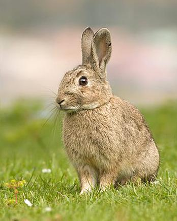 lapin garenne lapin d'occasion