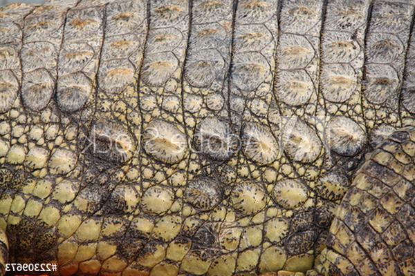 peau alligator d'occasion