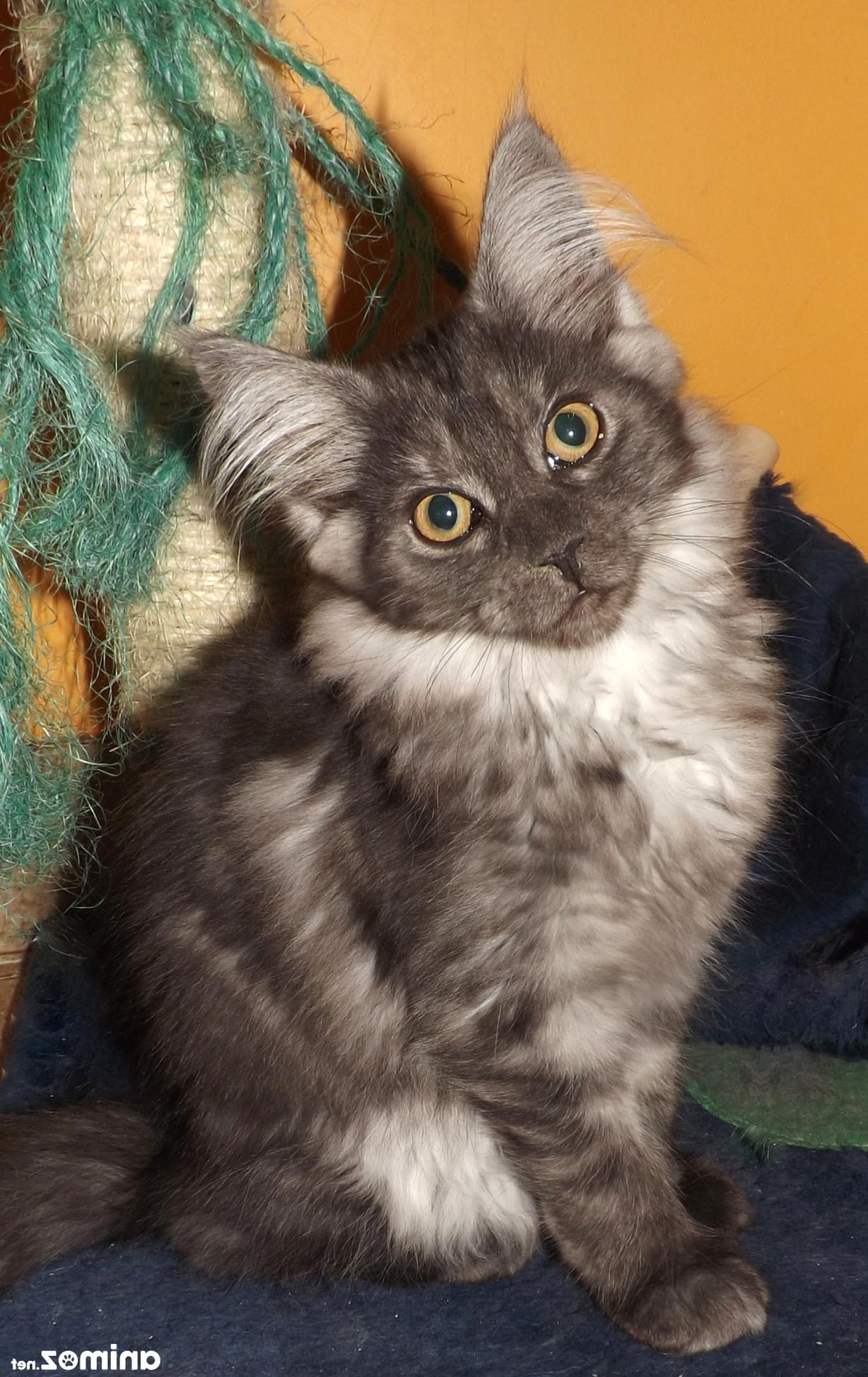 Maine Coon Chaton Non Loof D Occasion