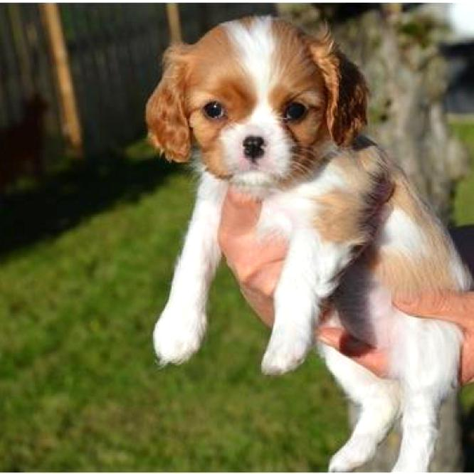 Cavalier King Charles Non Lof D Occasion