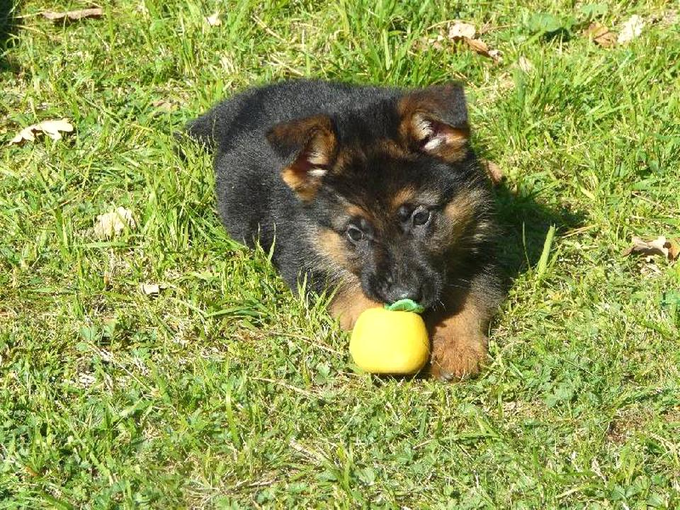 Chiot Berger Allemand Donner D Occasion