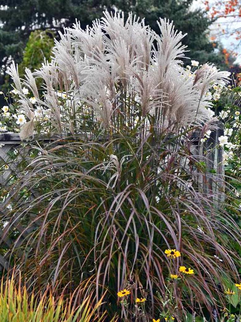 Jardin Sur Une Terrasse jardin, terrasse miscanthus sinensis purpurascens maiden