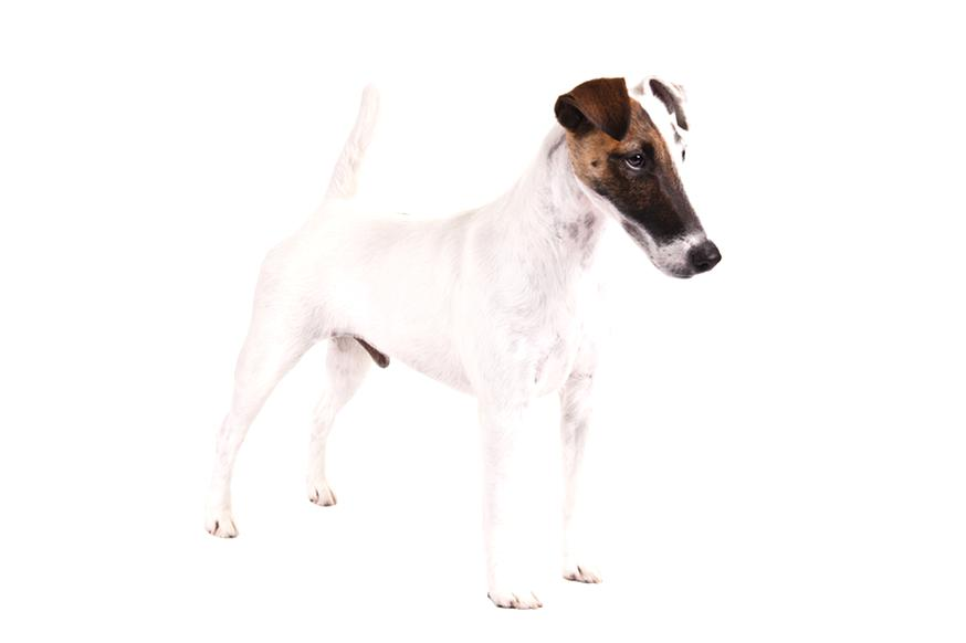 fox terrier d'occasion