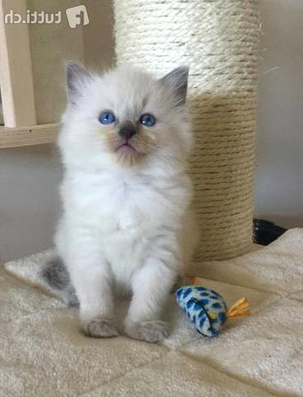 Chatons Ragdoll Pedigree D Occasion
