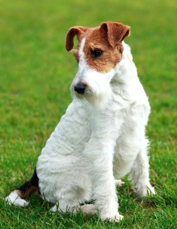 Fox Terrier Chien Doccasion Plus Que 2 à 60