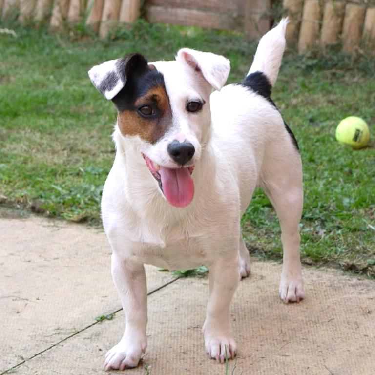 Jack Russel Nain D Occasion Plus Que 3 A 65