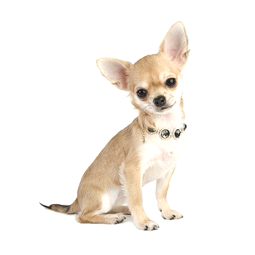 Chiot Chihuahua Poil Court D Occasion