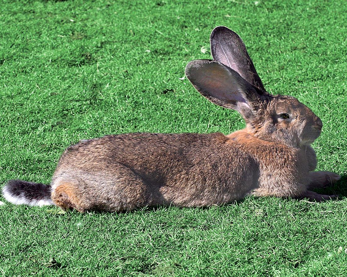 lapin geant flandres geant d'occasion