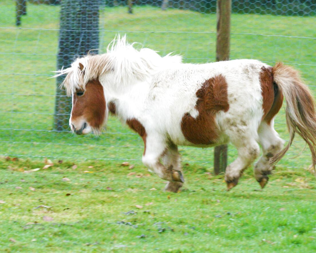 Poney Shetland A Adopter D Occasion