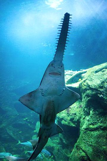 requin scie d'occasion